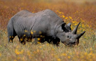 3794_file_Black_rhino_Balfour